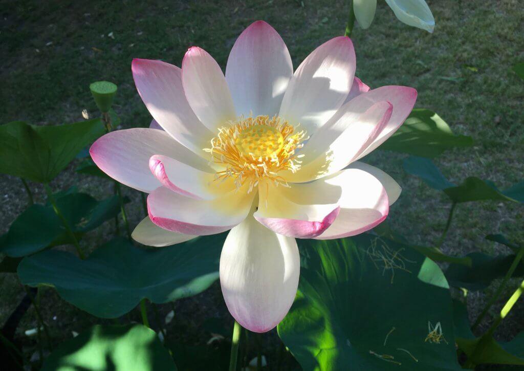 Lotus Yoga Way
